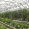 Organic tomatoes in the greenhouse: IoT and Big Data