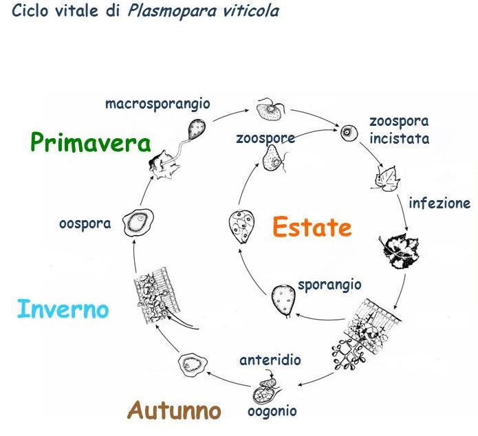 peronospora_della_vite_ciclo